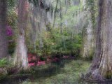 Azaleas and Cypress Trees in Magnolia Gardens  South Carolina  USA