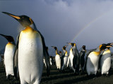 Rainbow Above Colony of King Penguins  Saint Andrews Bay  South Georgia Island  Sub-Antarctica