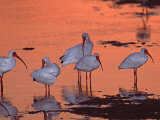 White Ibis  Ding Darling National Wildlife Refuge  Sanibel Island  Florida  USA