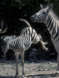 Plains Zebra Kicks  Etosha National Park  Namibia