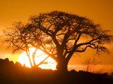 Silhouetted Baobab Trees  Kubu Island on Makgadikgadi Pan  Kalahari Desert  Botswana