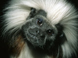 Cotton-Top Tamarin  Colombia