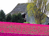 Tulip Field and Barn  Skagit Valley  Washington  USA