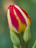 Close-Up of Single Tulip Flower with Buds  Ohio  USA