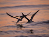 Black Skimmer  Fort Meyers  Florida  USA