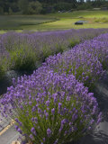 Lavender Farm  San Juan Islands  Washington  USA