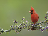 Northern Cardinal on Blooming Guayacan  Rio Grande Valley  Texas  USA