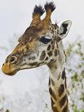 Maasai Giraffe Feeding  Maasai Mara  Kenya