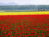 Tulip Fields  Skagit Valley  Washington  USA