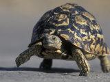 Leopard Tortoise  Savuti Marsh  Chobe National Park  Botswana