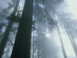 Foggy Dawn in Lady Bird Grove  Del Norte County  Redwood National Park  California