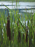 Cattails in Pond  Stockbridge  Berkshires  Massachusetts  USA