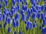 Keukenhof Gardens  Lisse  Holland  Netherlands