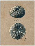 Vintage Linen Sea Urchin