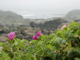 Beach Roses Along Marginal Way  Ogunquit  Maine  USA