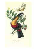 Toucan on Nutmeg