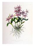 Barkeria Spectabilis