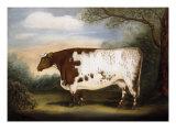 Durham Cow