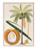 Kelapa or Coconut Palm