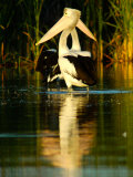 Two Pelicans Standing in Morning Light as a Pair  with Reflection