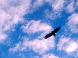American Bald Eagle in Flight in Cloud-Filled But Blue Sky