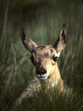 Big Black Eyes of a Pronghorn Fawn are Quick to Spot Trouble