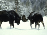 Bull Moose Engage in a Little Friendly Pushing