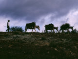 Farmer Leads His Burros Burdened with Firewood to a Mescal Factory