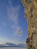Black-Legged Kittiwake Gulls (Rissa Tridactyla Tridactyla) Landing