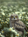 Young Great Horned Owl  Idaho Meadow