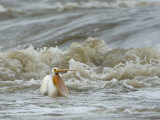 American White Pelican in the Slave River Rapids