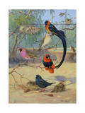 Whydahs  Red-Bellied and Orange Weaverbirds Share a Branch
