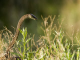 Black Mamba Raising Up it's Head  Ready for Attack in Tall Grasses