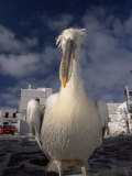 Close Portrait of a White Pelican  the Mascot of Mykonos Island