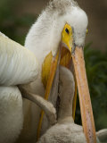 American White Pelican Feeding a Chick
