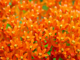 This Butterfly Weed Is a Celebration of Rich Orange Color and Pattern