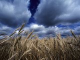 Golden Heads of Wheat in a Field under a Vast  Turbulent Sky
