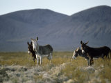 Wild Burros Wander Near Death Valley National Park