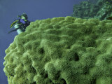 Diver Behind Star Coral Diving the Reefs Near Cozumel  Mexico