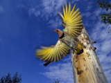 Northern Flicker Takes Flight Out of Nesting Hole