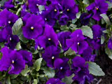 Close Up of Purple Pansy Flowers in a Garden