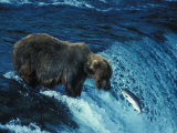 Grizzly Bear  Ursus Arctos Horribilis  Catching Salmon
