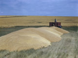 Farmer Backs Up a Truck to a Pile of Surplus Wheat from Big Harvest