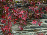 Vine with Red Leaves Clings to a Stone Wall in Middleburg  Virginia