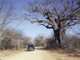 Car Passes a Tall  Wide Baobab Tree Beside a Dirt Road