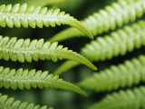 Delicate Leaf Vein Patterns on King Fern Fronds