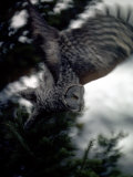 Great Gray Owl Takes Flight in Yellowstone National Park  Wyoming
