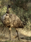 Emu Proudly Displays it&#39;s Breast Feathers in Bush Land