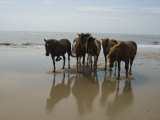 Wild Horses on the Beach in Assateague  Maryland