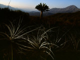 Endangered Chilean Palm Can Live More Than a Thousand Years
